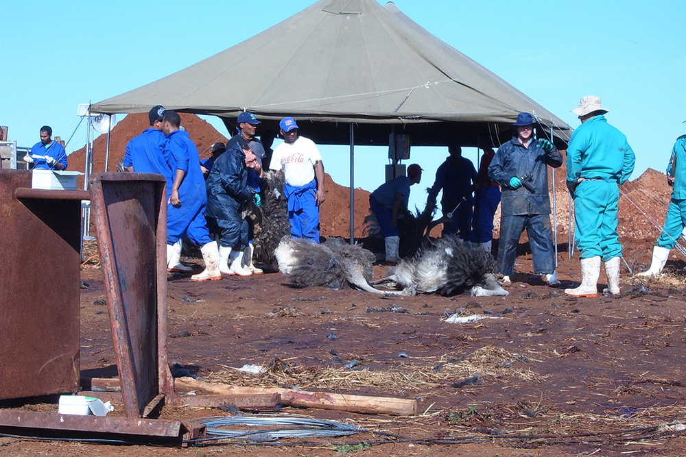 Ostriches in Oudtshoorn culled